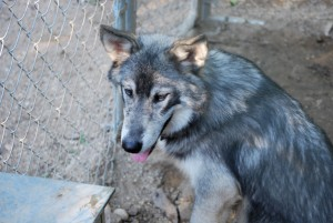 wolf Milo